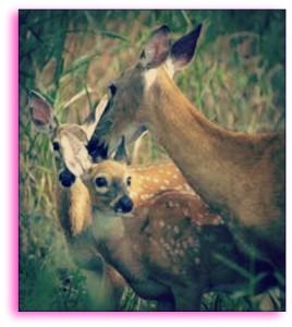 deer sterilization