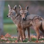 The Predatory Nature of Coyotes